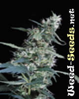Arjan's Ultra Haze Cannabis Seeds