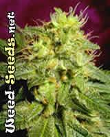 39 cannabis seeds