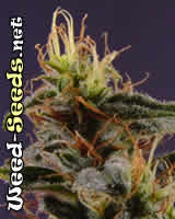 NYC Diesel Marijuana Seeds