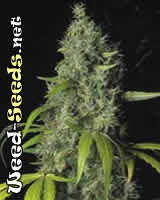 The Sage Cannabis Seeds