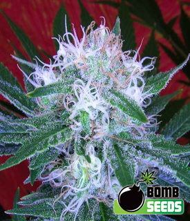 Auto Bomb by Bomb Seeds