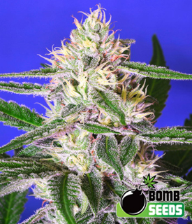 Cheese Bomb by Bomb Seeds