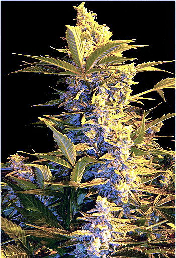 Mi5 Feminized Cannabis Seeds