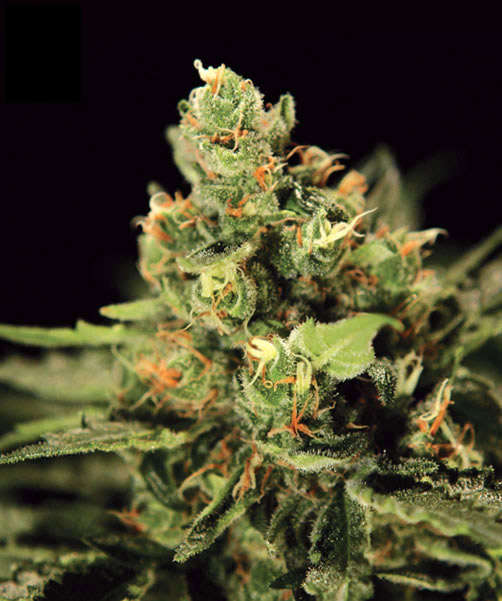 how to grow feminized weed seeds