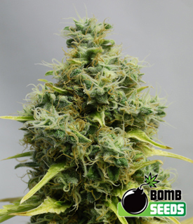 Big Bomb Seeds by Bomb Seeds