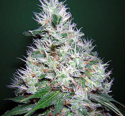 Bubblegum Serious Seeds Marijuana Seeds