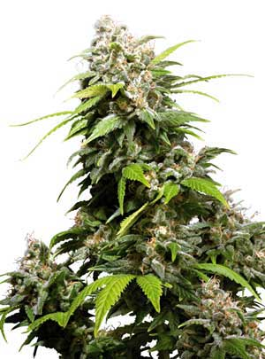 California Indica Sensi Seeds