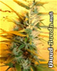 Citral Marijuana Seeds