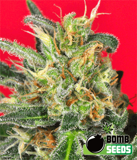 Cluster Bomb by Bomb Seeds