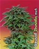 Durban Poison Feminized Marijuana Seeds