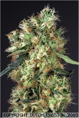 Dutch Passion Marijuana Seed Strains from Weed Seeds