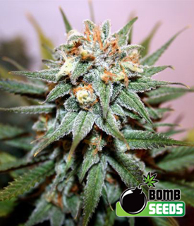 Hash Bomb by Bomb Seeds