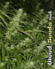 Haze 19 x Skunk Cannabis Seeds