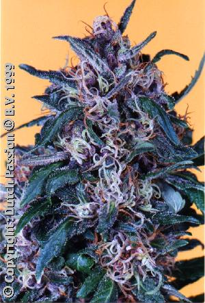 Orange Bud Feminized Marijuana Seeds