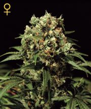 Lemon Skunk Feminized Seeds