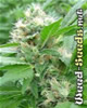 Magic Bud Marijuana Seeds