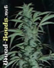 Northern Lights Special Marijuana Seeds