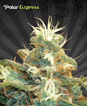 Polar Express Feminized