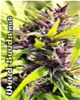 Purple Power Marijuana Seeds