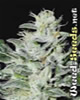 Sensi Star Marijuana Seeds