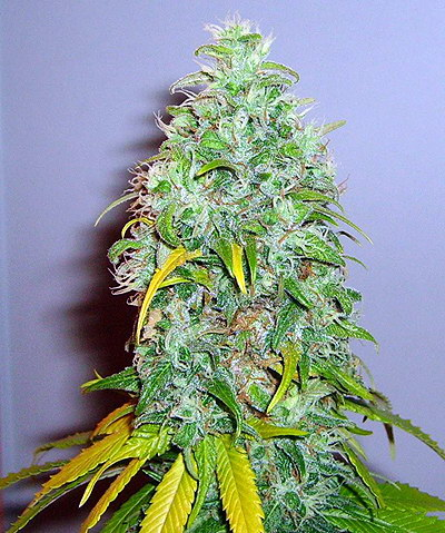 Skunk 1 Feminized Sensi Seeds