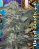 Speed Queen Marijuana Seeds