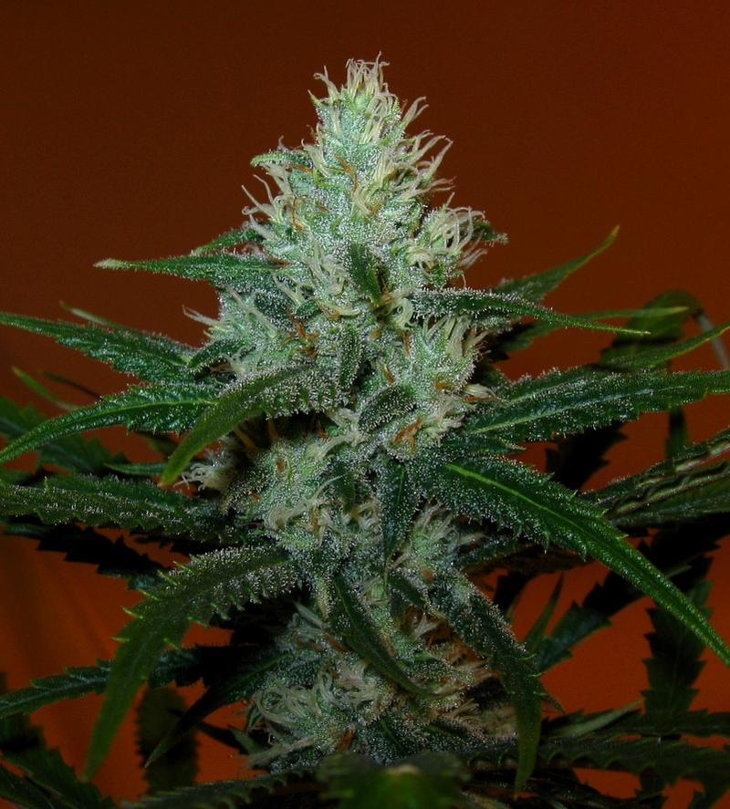 Northern Lights Cannabis Seeds