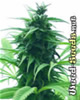 Super Skunk Marijuana Seeds