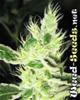 Swazi Marijuana Seeds