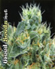 The Doctor Feminized Cannabis Seeds