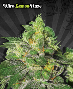 Ultra Lemon Haze Feminized