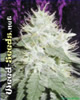 White Widow Marijuana Seeds