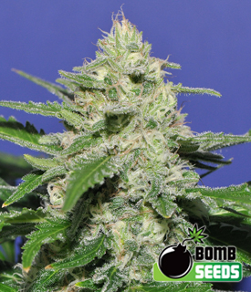 Widow Bomb by Bomb Seeds